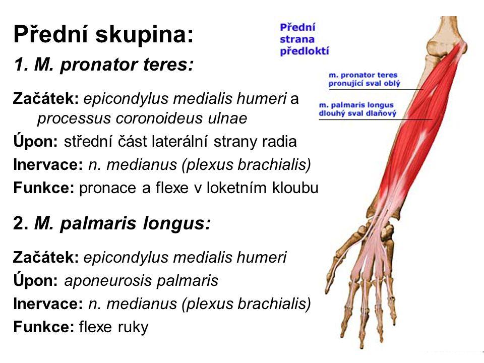 Přední skupina: 1. M. pronator teres: 2. M. palmaris longus: