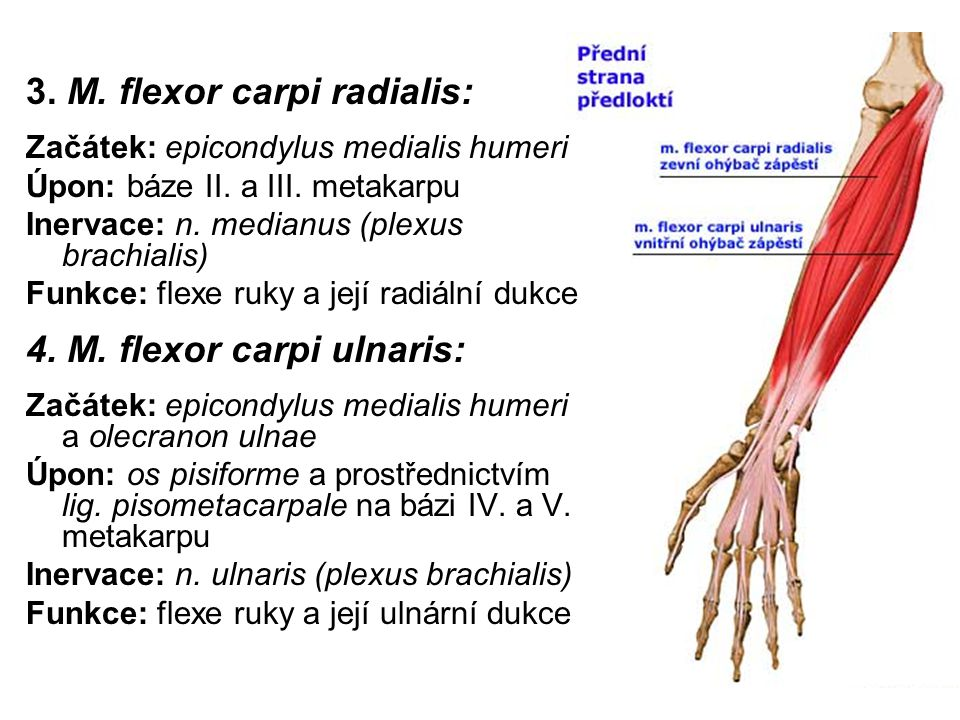 3. M. flexor carpi radialis: