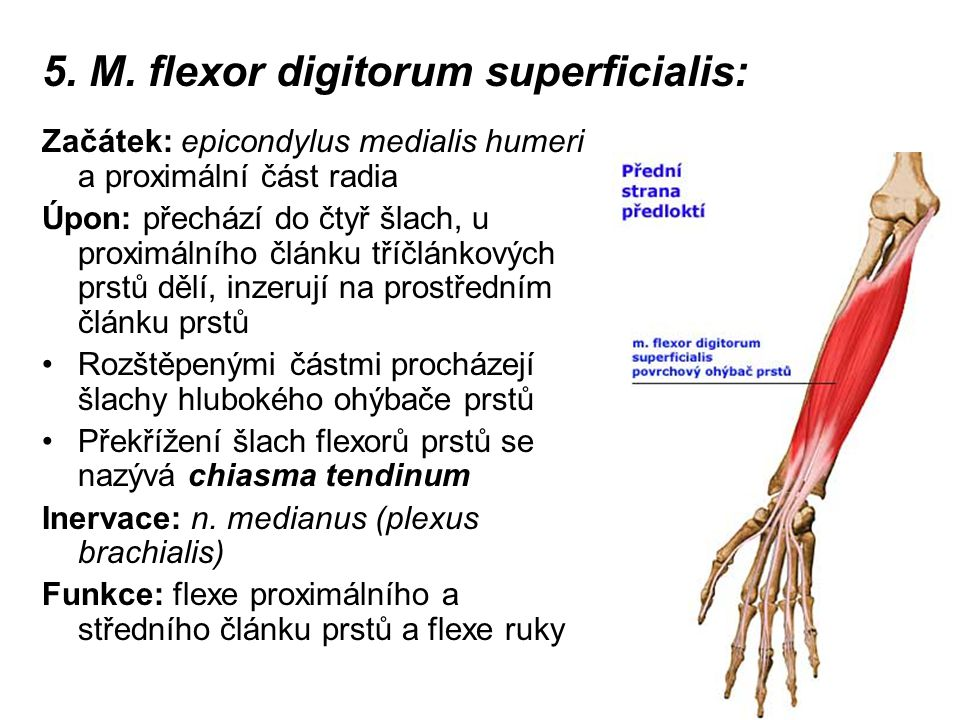 5. M. flexor digitorum superficialis: