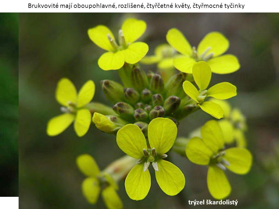 Brukvovité mají oboupohlavné, rozlišené, čtyřčetné květy, čtyřmocné tyčinky