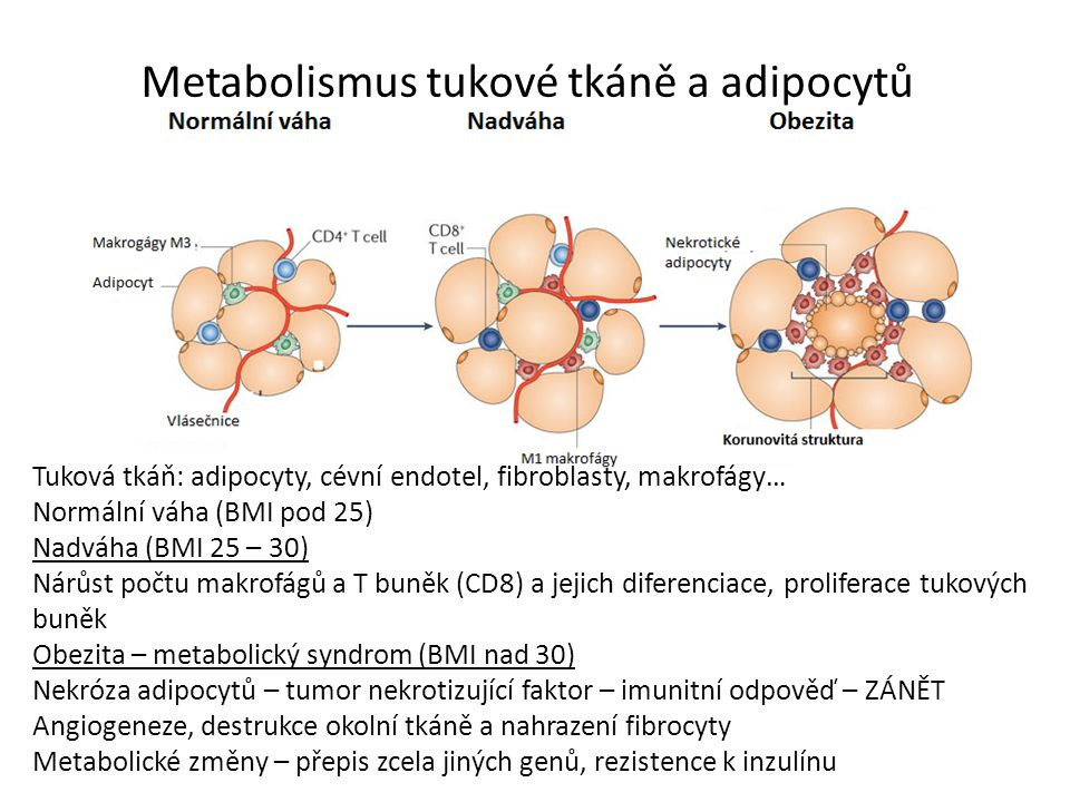 Metabolismus tukové tkáně a adipocytů