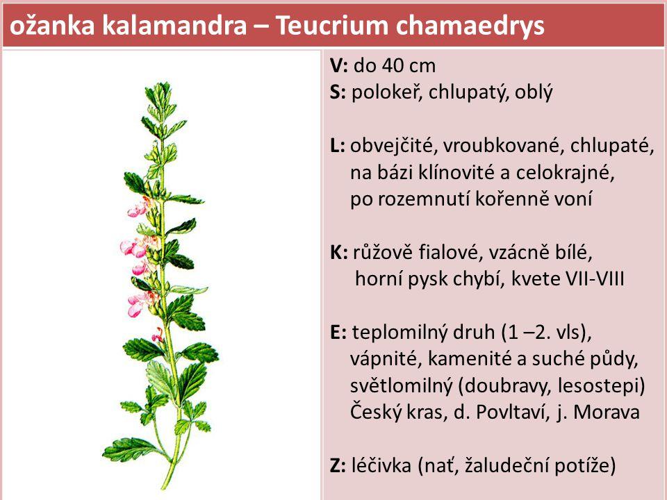 ožanka kalamandra – Teucrium chamaedrys