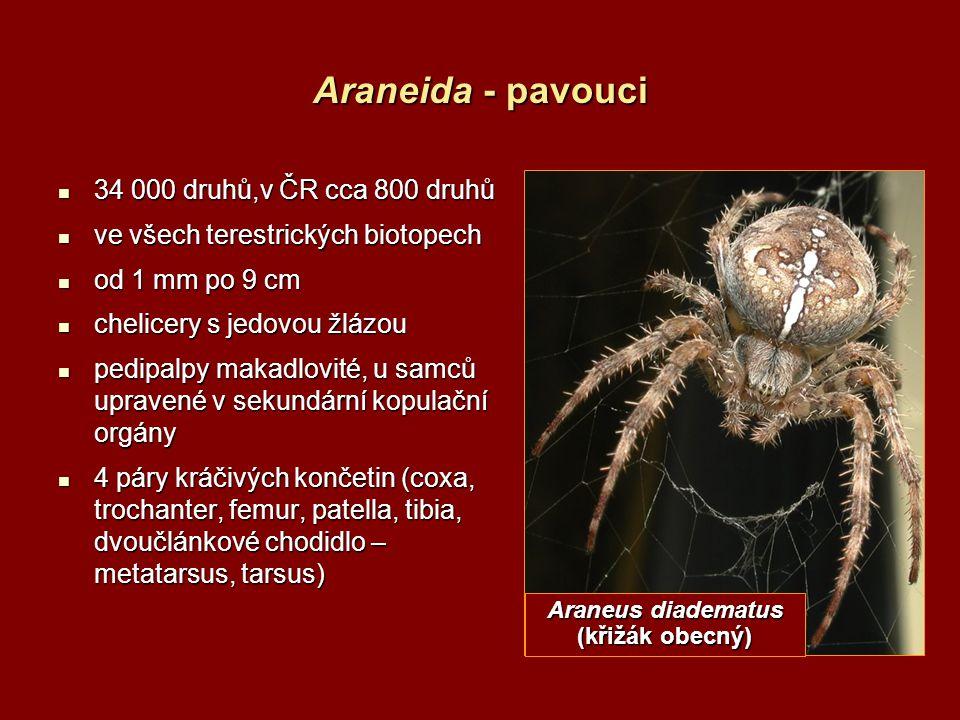 Araneus diadematus (křižák obecný)