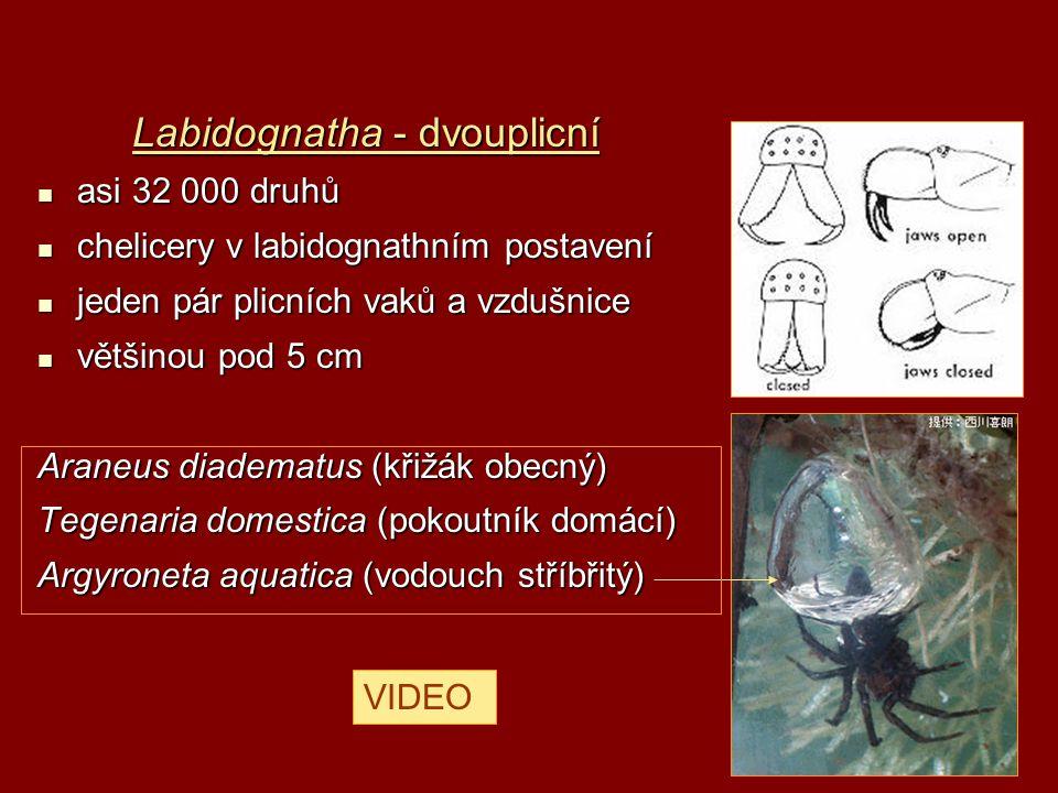 Labidognatha - dvouplicní