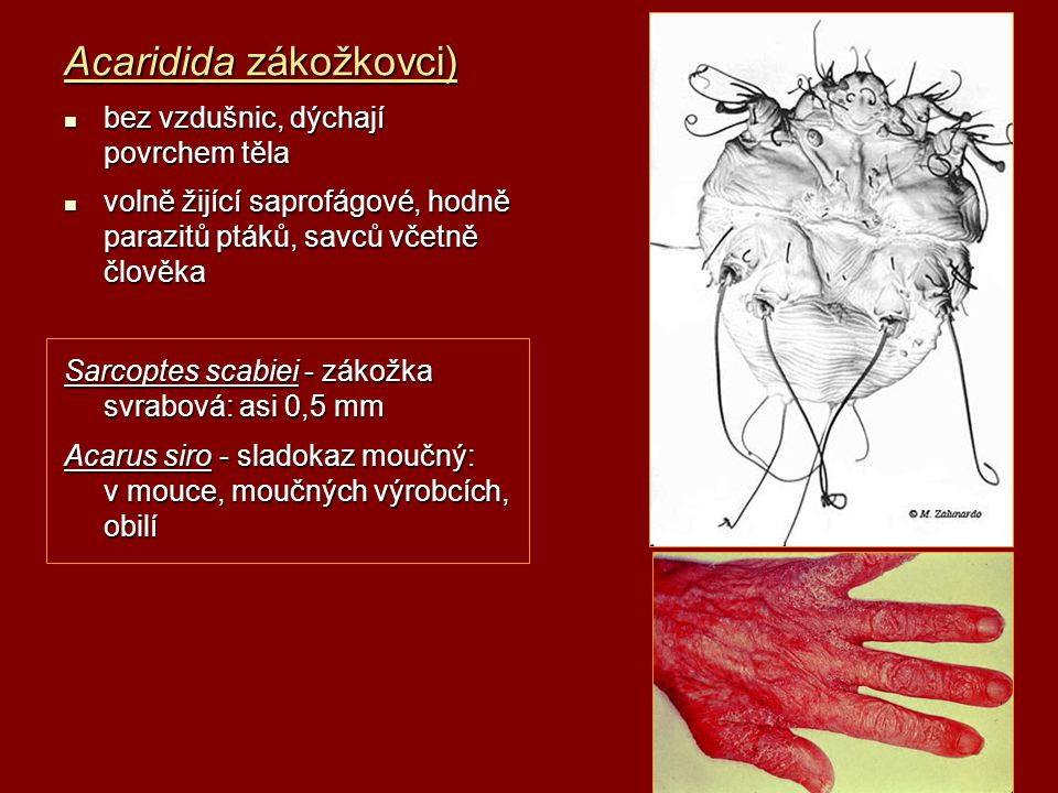 Acaridida zákožkovci)