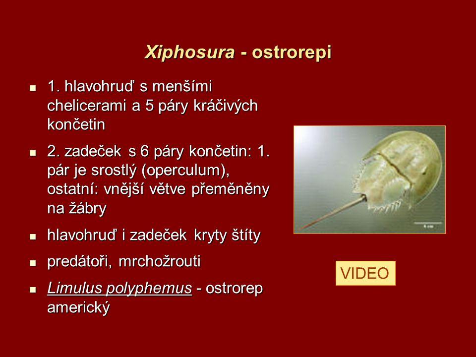 Xiphosura - ostrorepi 1. hlavohruď s menšími chelicerami a 5 páry kráčivých končetin.