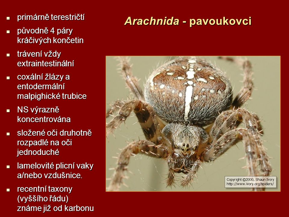 Arachnida - pavoukovci