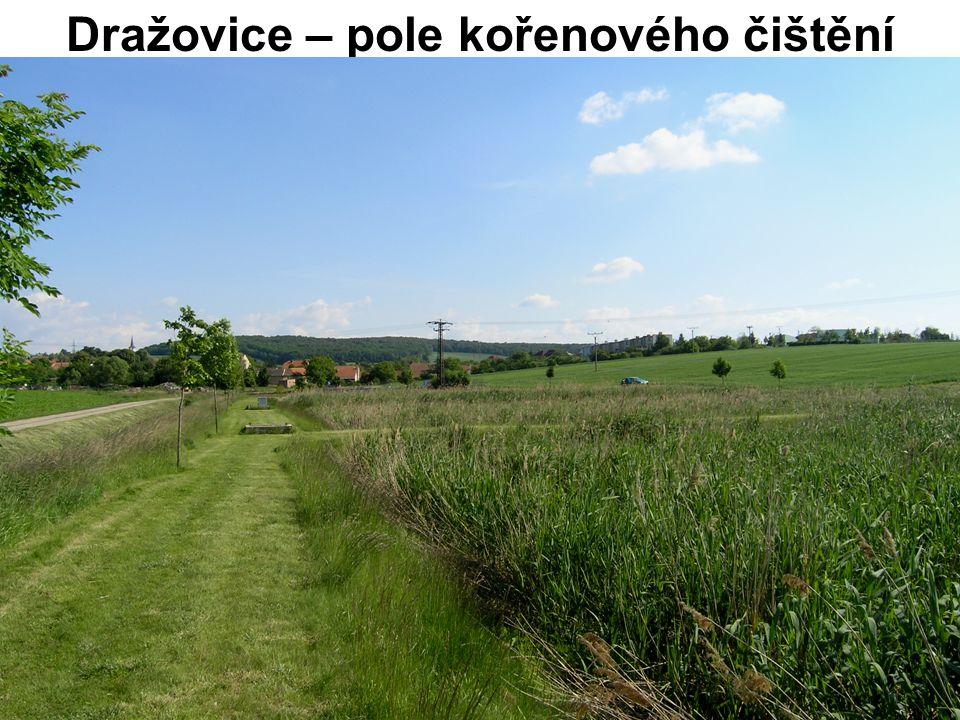 Dražovice – pole kořenového čištění