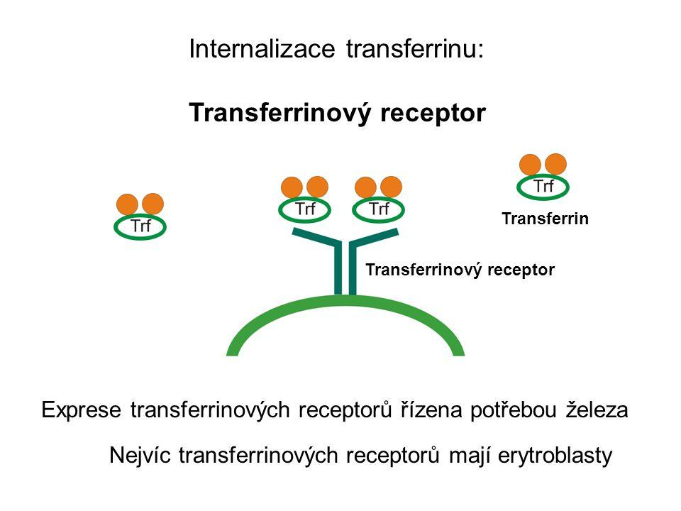 Internalizace transferrinu: Transferrinový receptor