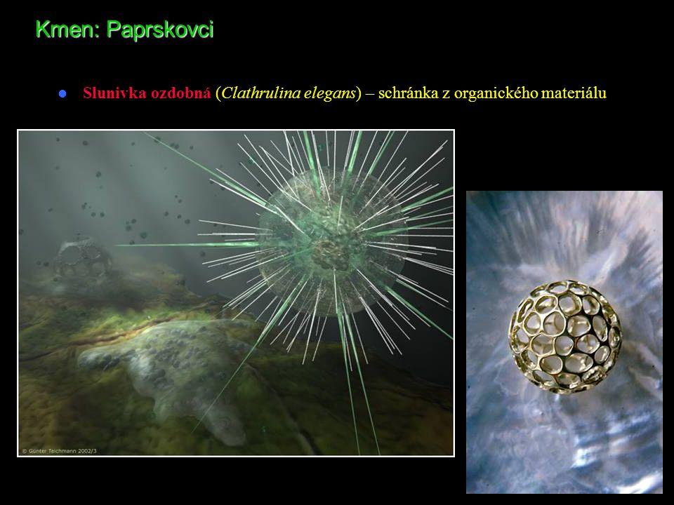 Kmen: Paprskovci Slunivka ozdobná (Clathrulina elegans) – schránka z organického materiálu