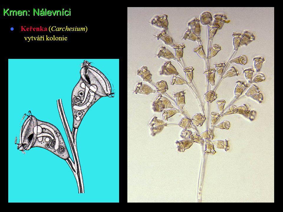 Kmen: Nálevníci Keřenka (Carchesium) vytváří kolonie