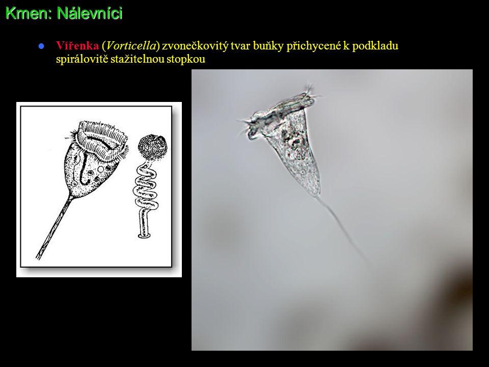 Kmen: Nálevníci Vířenka (Vorticella) zvonečkovitý tvar buňky přichycené k podkladu spirálovitě stažitelnou stopkou.