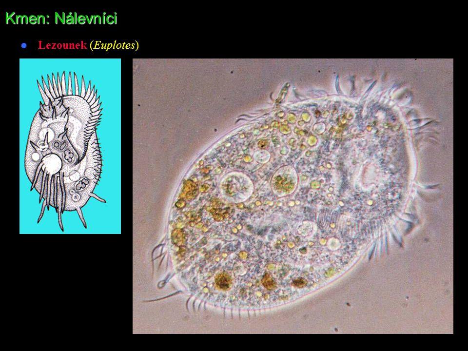 Kmen: Nálevníci Lezounek (Euplotes)