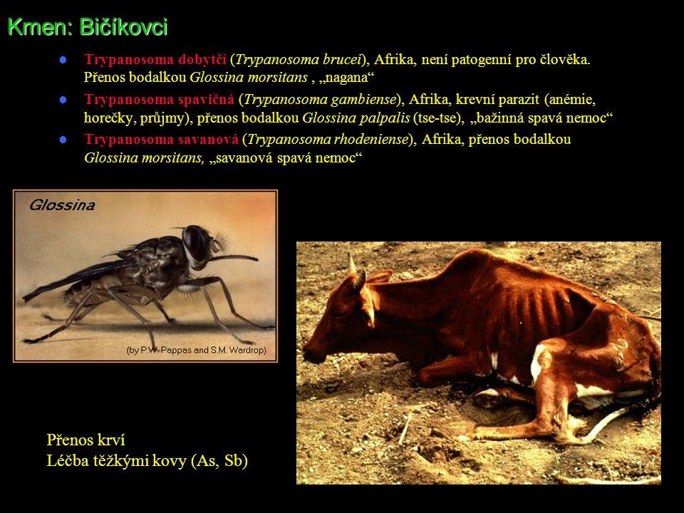 Kmen: Bičíkovci Přenos krví Léčba těžkými kovy (As, Sb)