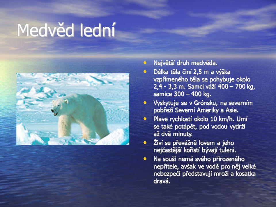 Medvěd lední Největší druh medvěda.