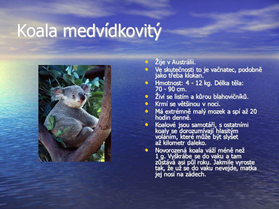 Koala medvídkovitý Žije v Austrálii.