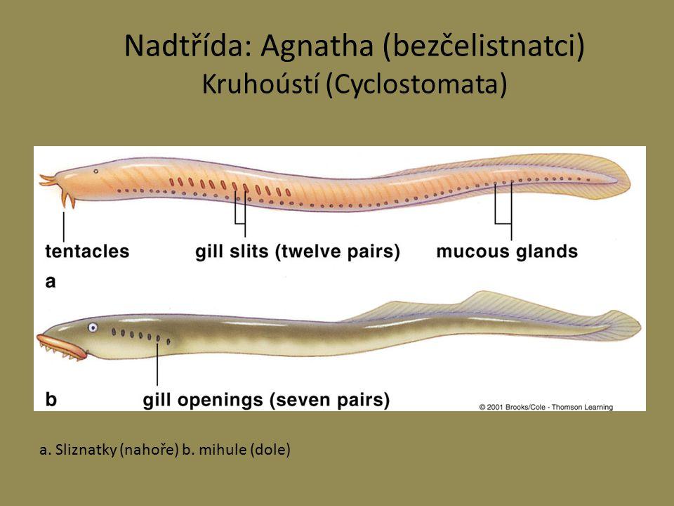 Nadtřída: Agnatha (bezčelistnatci) Kruhoústí (Cyclostomata)