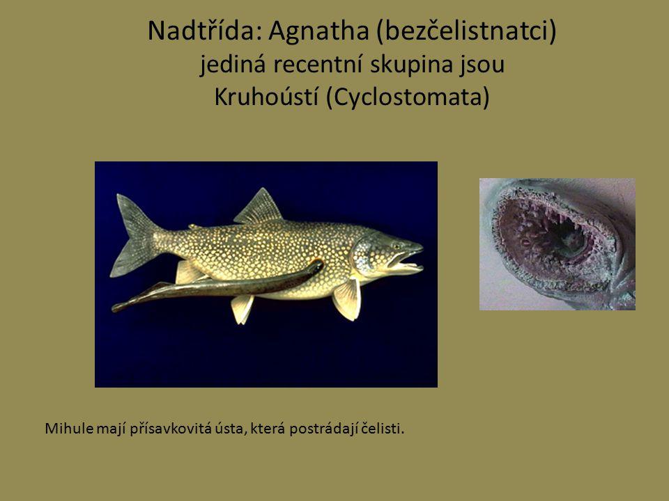 Nadtřída: Agnatha (bezčelistnatci) jediná recentní skupina jsou Kruhoústí (Cyclostomata)