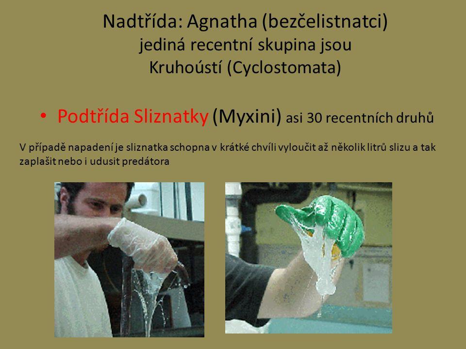 Podtřída Sliznatky (Myxini) asi 30 recentních druhů