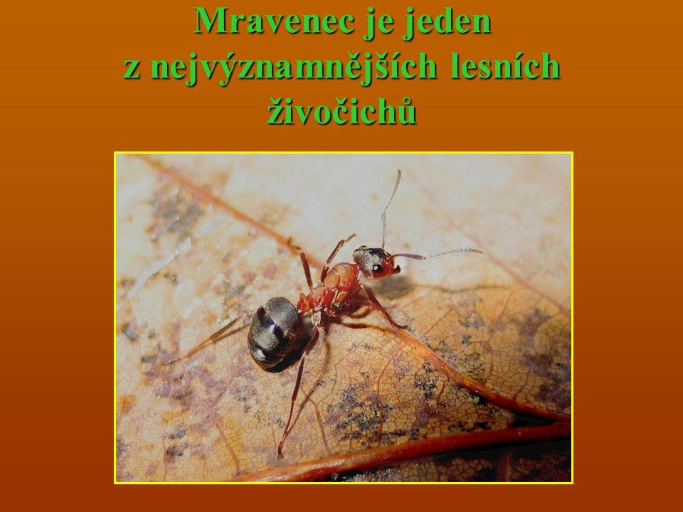 Mravenec je jeden z nejvýznamnějších lesních živočichů