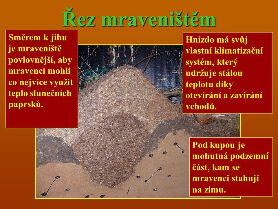 Řez mraveništěm Směrem k jihu je mraveniště povlovnější, aby mravenci mohli co nejvíce využít teplo slunečních paprsků.