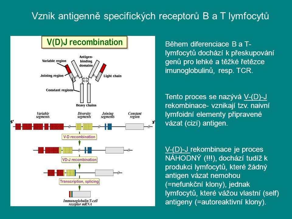 Vznik antigenně specifických receptorů B a T lymfocytů