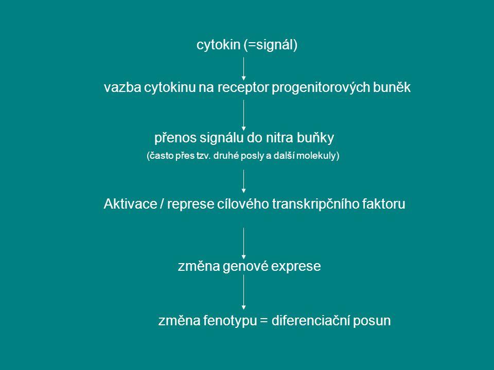 vazba cytokinu na receptor progenitorových buněk
