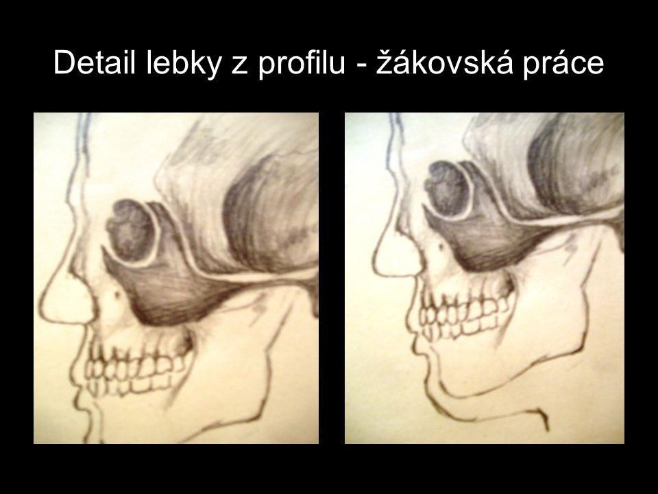 Detail lebky z profilu - žákovská práce