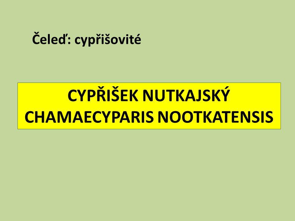 CYPŘIŠEK NUTKAJSKÝ CHAMAECYPARIS NOOTKATENSIS