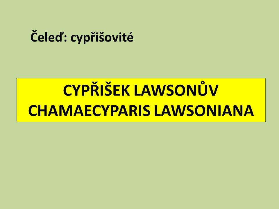 CYPŘIŠEK LAWSONŮV CHAMAECYPARIS LAWSONIANA