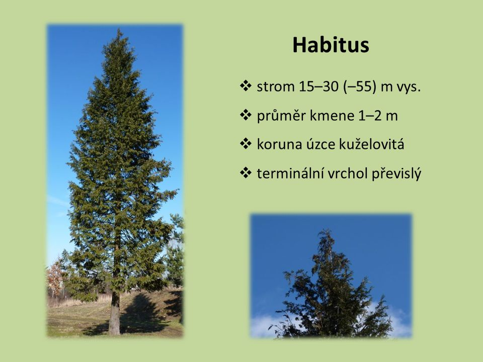 Habitus strom 15–30 (–55) m vys. průměr kmene 1–2 m