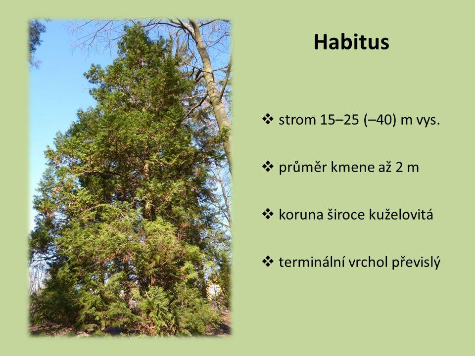 Habitus strom 15–25 (–40) m vys. průměr kmene až 2 m