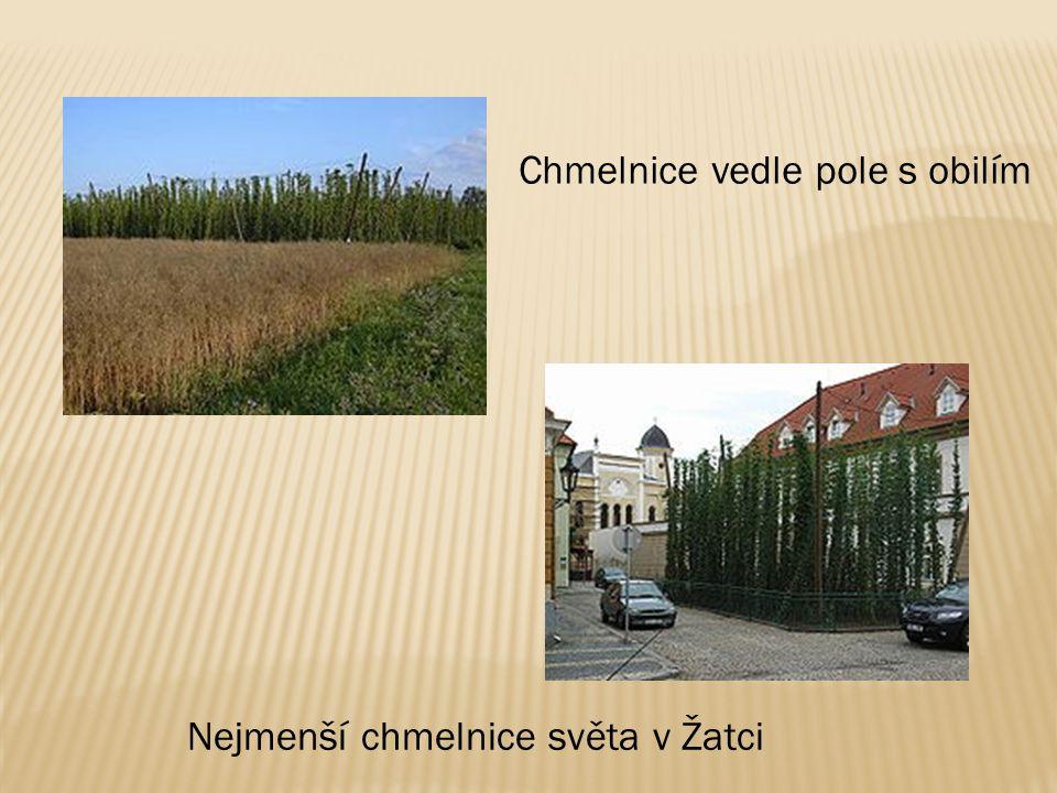 Chmelnice vedle pole s obilím