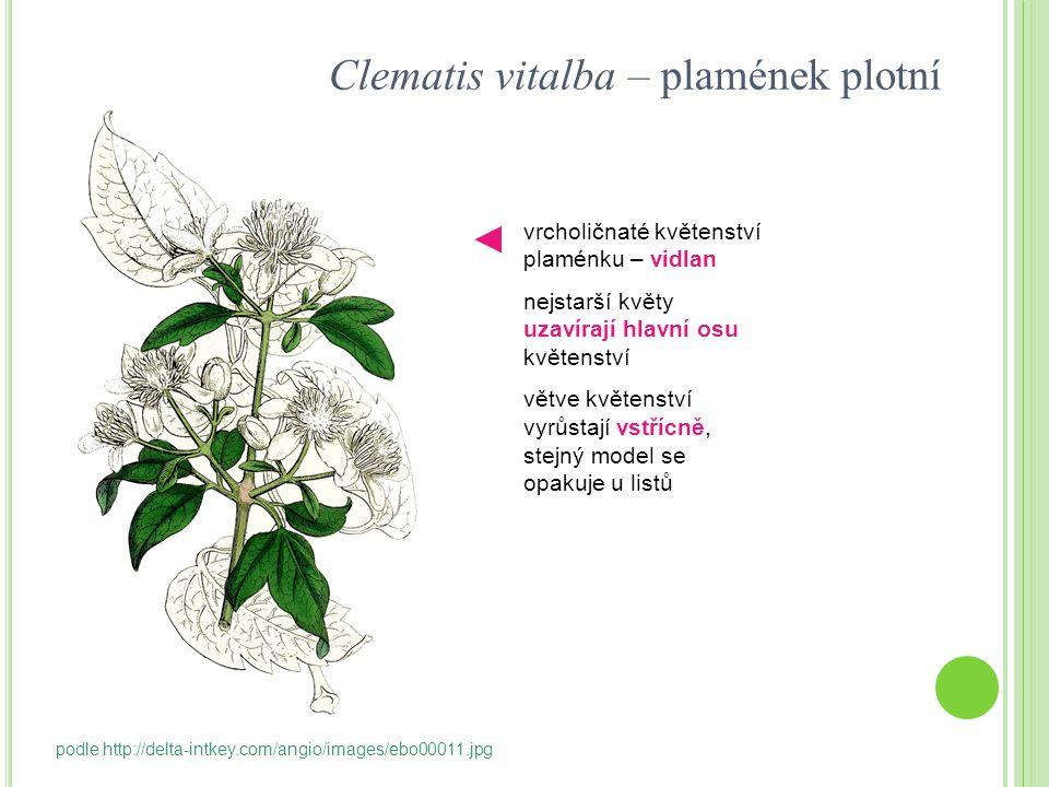 Clematis vitalba – plamének plotní