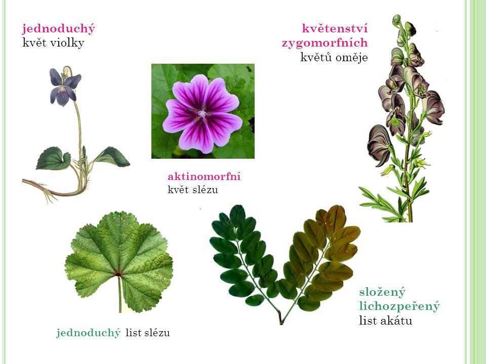 jednoduchý květ violky květenství zygomorfních květů oměje
