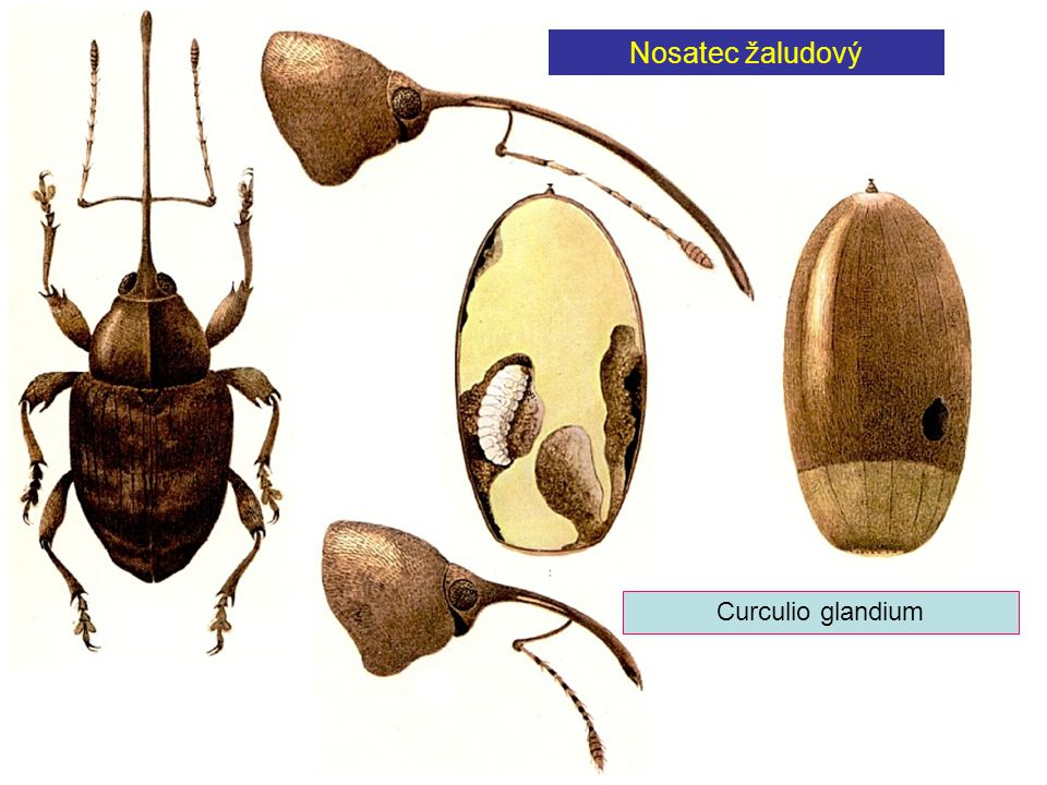 Nosatec žaludový Curculio glandium