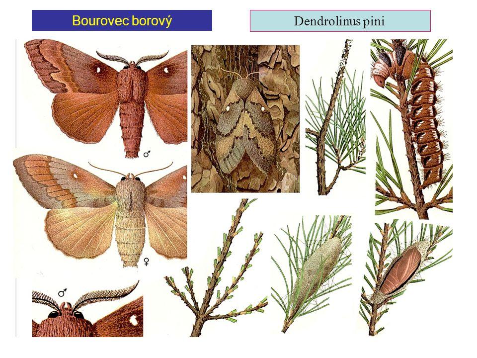 Bourovec borový Dendrolinus pini