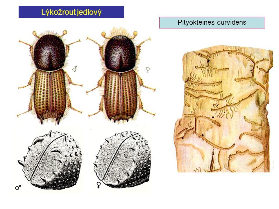 Pityokteines curvidens