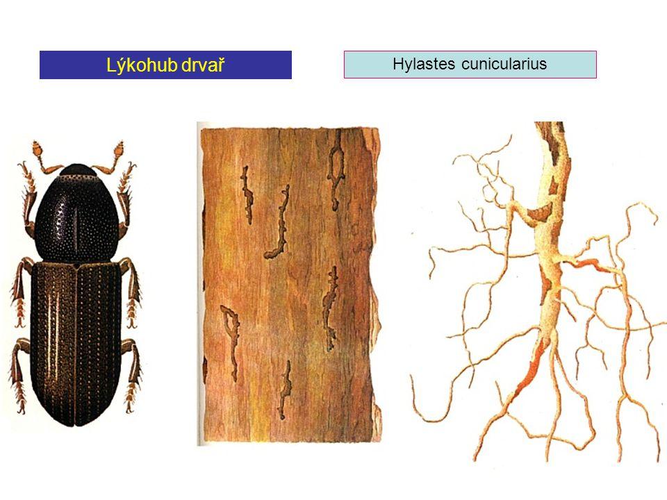 Hylastes cunicularius