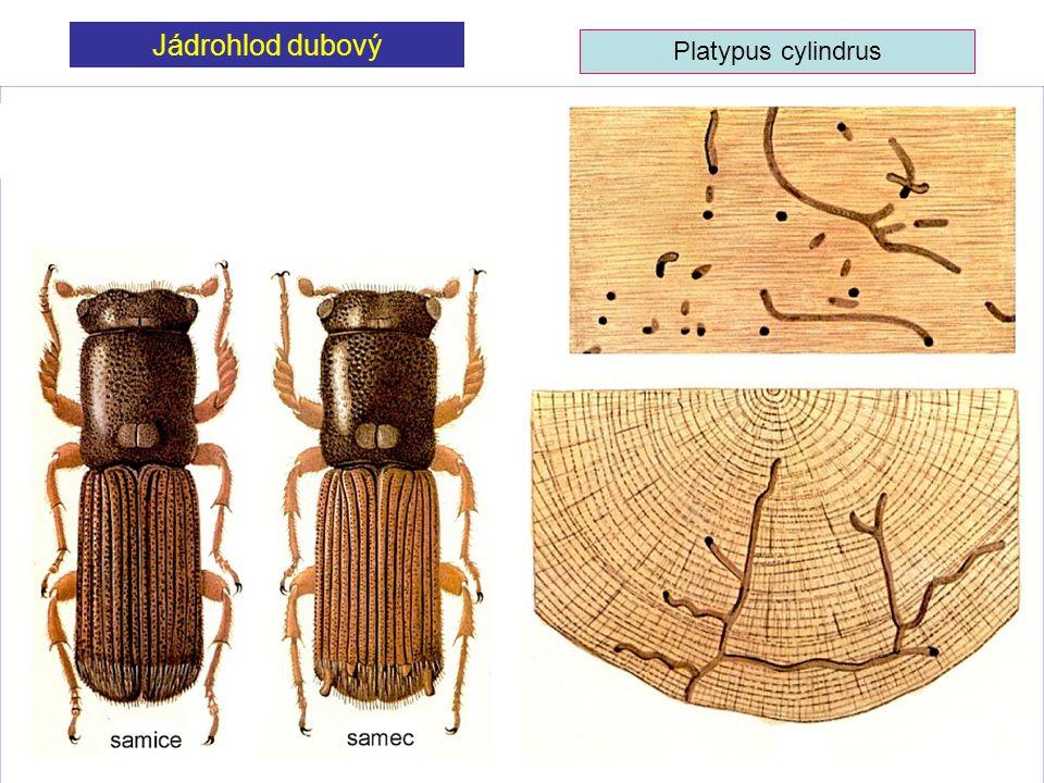 Jádrohlod dubový Platypus cylindrus