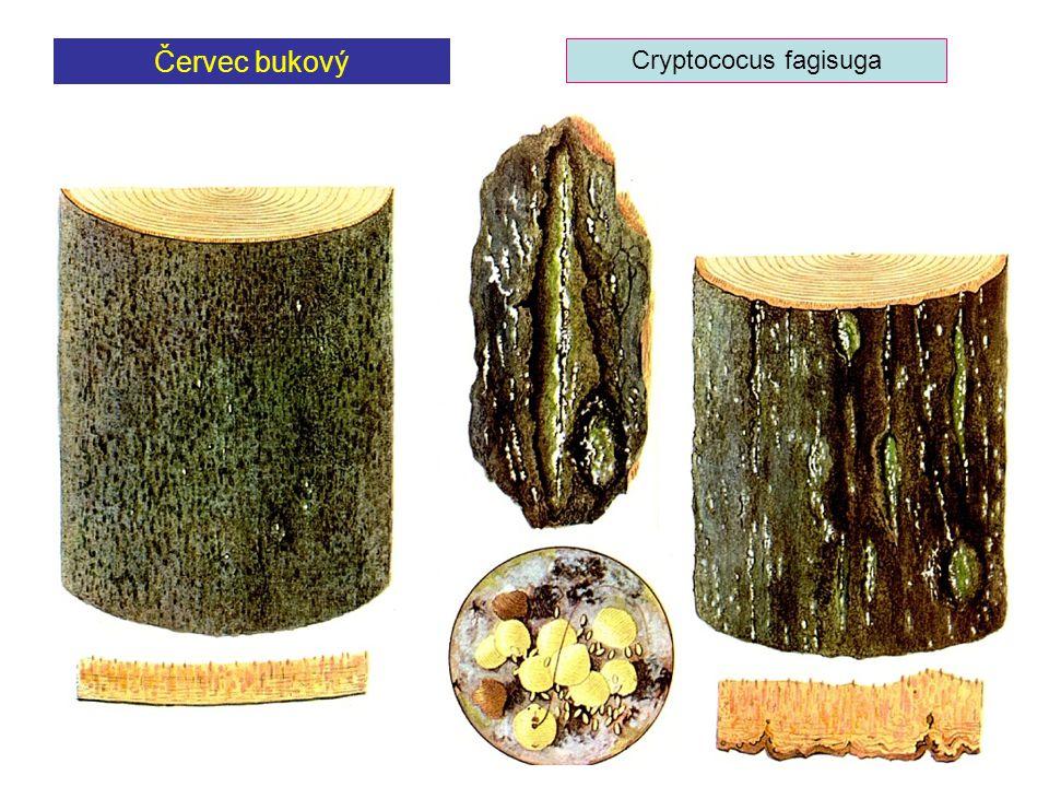 Červec bukový Cryptococus fagisuga