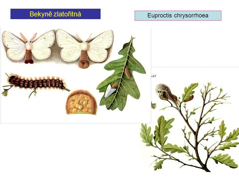 Euproctis chrysorrhoea