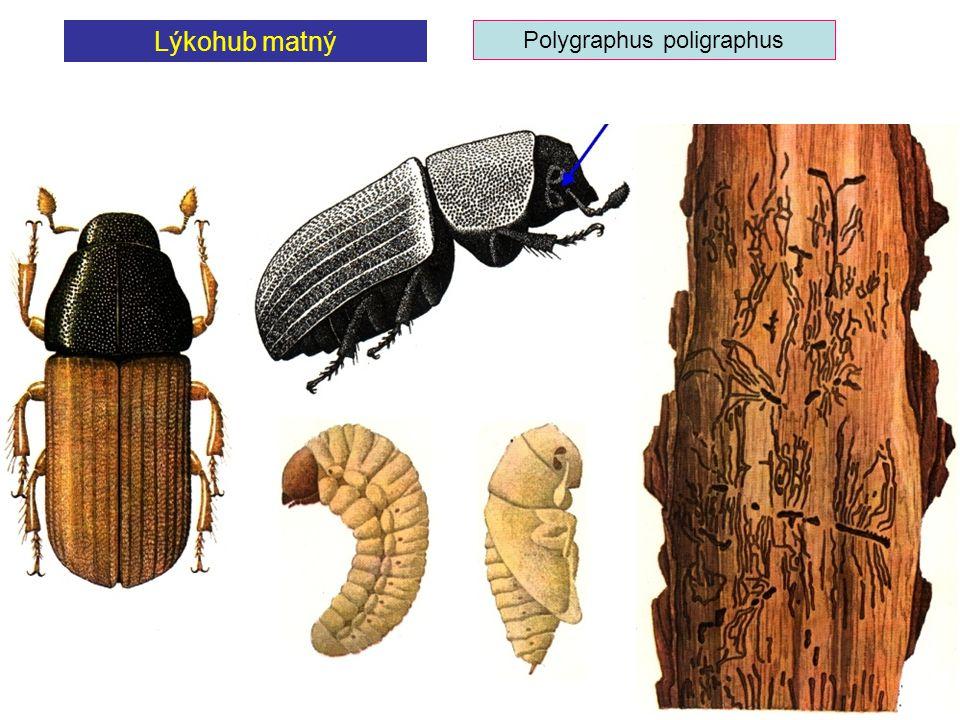 Polygraphus poligraphus