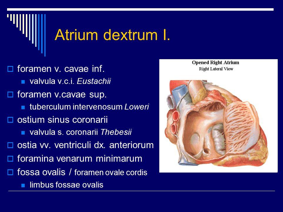Atrium dextrum I. foramen v. cavae inf. foramen v.cavae sup.