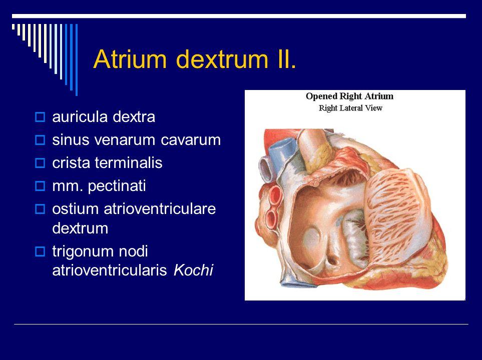 Atrium dextrum II. auricula dextra sinus venarum cavarum