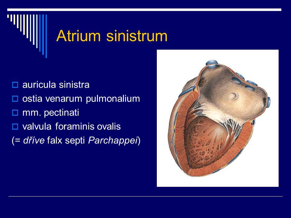 Atrium sinistrum auricula sinistra ostia venarum pulmonalium