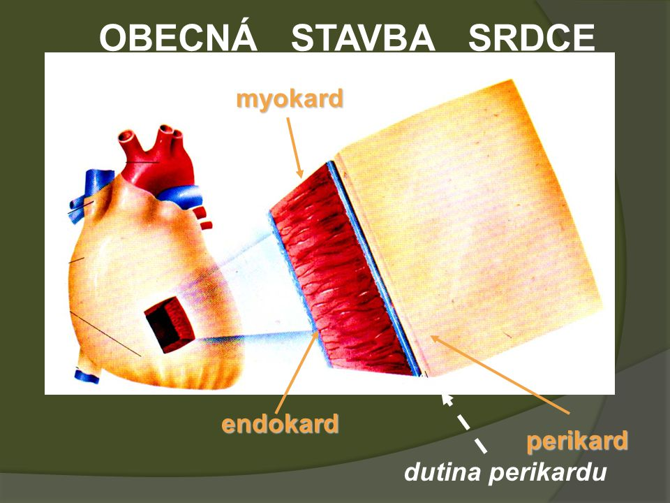 OBECNÁ STAVBA SRDCE myokard endokard perikard dutina perikardu