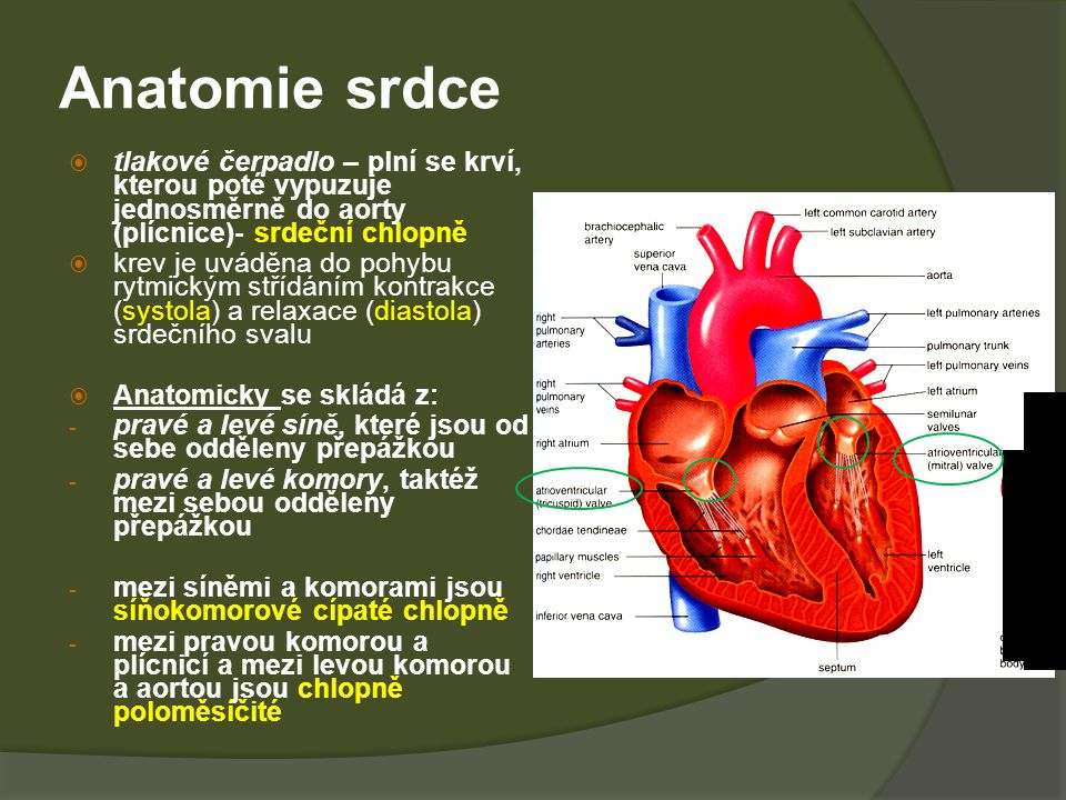 Anatomie srdce tlakové čerpadlo – plní se krví, kterou poté vypuzuje jednosměrně do aorty (plícnice)- srdeční chlopně.