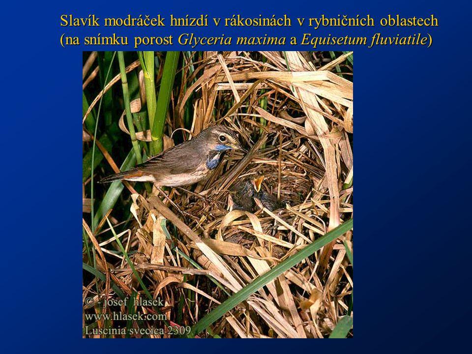 Slavík modráček hnízdí v rákosinách v rybničních oblastech (na snímku porost Glyceria maxima a Equisetum fluviatile)
