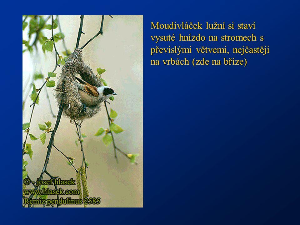 Moudivláček lužní si staví vysuté hnízdo na stromech s převislými větvemi, nejčastěji na vrbách (zde na bříze)